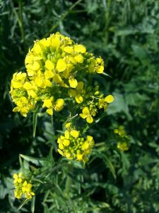 mustard - ackersenf