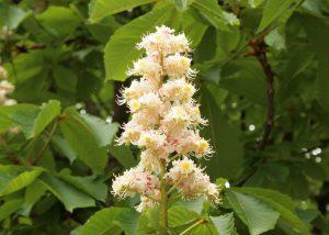 white chestnut - rosskastanie