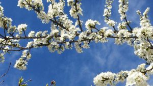 Bachblüte Cherry Plum
