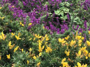 Bachblüte Gorse - Stechginster und Glockenheide