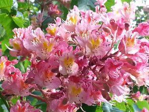 Bachblüte Red Chestnut  - Rote Kastanie