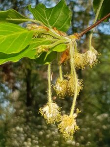Bachblüte Beech