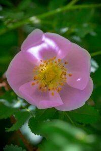 Bachblüte Wild Rose